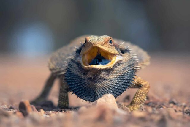 Bearded Dragon Black Beard
