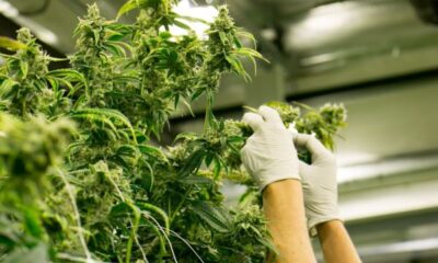 How to Get a Job in the Cannabis Industry
