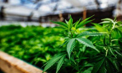 Benefits Of Growing Cannabis Indoors