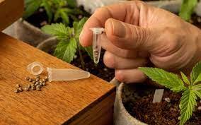 Best Marijuana Online Seed Bank